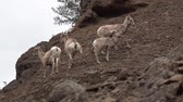 ovelha : Bighorn Sheep (Ovis canadensis) on mountain slopes, Montana, USA