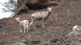 rams : Bighorn Sheep (Ovis canadensis) on mountain slopes, Montana, USA