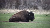 bizon : Mammals of Montana. The American bison or buffalo (Bison bison) eat green grass on the field.