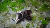 humr : Hermit crab (Clibanarius erythropus) in the shell Rapana venosa