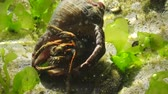zoological : Hermit crab (Clibanarius erythropus) in the shell Rapana venosa