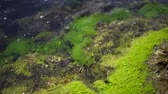 invertebrates : Green algae on rocks at shallow depths near the coast, Black Sea, Bulgaria