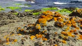 odessza : Lichens on a rocky shore near the water on the Black Sea, Bulgaria