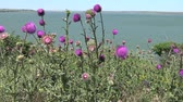 biodiverzitás : Carduus nutans, nodding thistle - weed, on the flowers of which there are many different insects