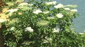 biodiverzitás : Sambucus nigra is a species of complex of flowering plants. Blossoming steppe on the shore of Hadzhibeysky Estuary, Ukraine Stock mozgókép