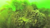 ecological : Sea sponges on the rocks in the Black Sea, Odessa Bay, depth of 6 meters