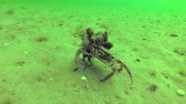 krab : The crab Carcinus maenas aestuarii, on which mussels grow, quickly, along the seabed, the Black Sea, the Odessa Gulf