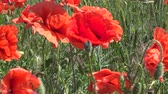 mák : Papaver rhoeas, Wild poppy growing on the wheat field