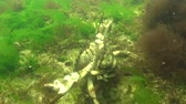 crustacea : Fauna of the Black Sea. Male and female of Green crab (Carcinus maenas) during mating