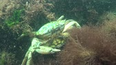 maenas : Fauna of the Black Sea. Male and female of Green crab (Carcinus maenas) during mating