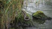 serpent : The dice snake (Natrix tessellata) Stock Footage