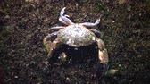 ıstakoz : Jaguar round crab (Xantho poressa). Fauna of the black sea