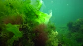 ecological : Algae of the Black Sea. Green and red algae on the rocks on the seabed. Underwater landscape. Black Sea