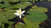 czerwona róża : Beautiful white water lily (Nymphaea alba), Kugurluy, Ukraine. A plant listed in the Red Book of Ukraine
