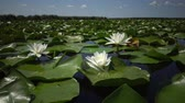 loto : Beautiful white water lily (Nymphaea alba), Kugurluy, Ukraine. A plant listed in the Red Book of Ukraine