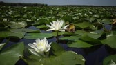 aquático : Beautiful white water lily (Nymphaea alba), Kugurluy, Ukraine. A plant listed in the Red Book of Ukraine