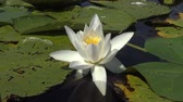 plovoucí : Beautiful white water lily (Nymphaea alba), Kugurluy, Ukraine. A plant listed in the Red Book of Ukraine
