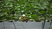 rose garden : Beautiful white water lily (Nymphaea alba), Kugurluy, Ukraine. A plant listed in the Red Book of Ukraine
