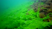 řasa : Algae of the Black Sea. Green and red algae on the rocks on the seabed. Underwater landscape. Black Sea