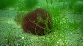 sea : Algae of the Black Sea. Green and red algae on the rocks on the seabed. Underwater landscape. Black Sea