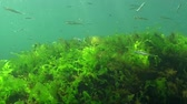 invertebrates : Black Sea big-scale sand smelt (Atherina pontica) among the seaweed. Fish of the Black Sea Stock Footage