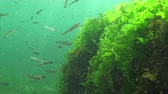 smelt : Black Sea big-scale sand smelt (Atherina pontica) among the seaweed. Fish of the Black Sea Stock Footage
