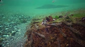 crustacea : The Odessa Gulf. (Palaemon adspersus) is commonly called Baltic Sea. Stock Footage