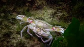 ロブスター : Reproduction of crabs (Liocarcinus holsatus). Male and female before mating. Black sea