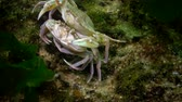pençeleri : Reproduction of crabs (Liocarcinus holsatus). Male and female before mating. Black sea