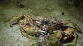 krab : Nutrition of Green crab or Shore crab (Carcinus maenas, Carcinus aestuarii), crayfish Black sea
