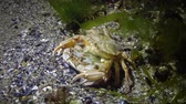 crustacea : Reproduction of crabs (Liocarcinus holsatus). Male and female before mating. Black sea