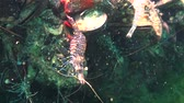 krab : Nutrition of Prawn (Palaemon elegans). Black Sea.