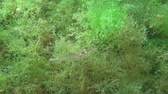 crustacea : Shrimp Baltic prawn (Palaemon adspersus) in thickets of green algae. Black sea Stock Footage