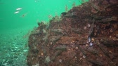 crustacean : Palaemon adspersus, commonly known as the Baltic Sea. Stock Footage