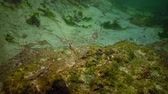 crayfish : Palaemon adspersus, commonly known as the Baltic Sea. Stock Footage