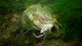 krab : Flying swimming crab (Liocarcinus holsatus): male retains before mating