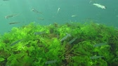 ecological : Black Sea big-scale sand smelt (Atherina pontica) among the seaweed. Fish of the Black Sea Stock Footage