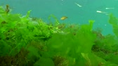 улов : Black Sea big-scale sand smelt (Atherina pontica) among the seaweed. Fish of the Black Sea Стоковые видеозаписи