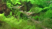 crustacean : Shrimp Baltic prawn (Palaemon adspersus) in thickets of green algae. Black sea Stock Footage
