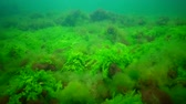 zoological : Thickets of marine green and brown algae in the Black Sea