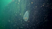 footage : Ctenophores, Predatory comb jelly (Beroe ovata) swim in the water in search of food. Fauna of the Black Sea. Ukraine