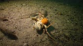 krab : Swimming crab (Macropipus holsatus) - Black Sea.