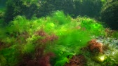 řasa : Photosynthesis in the sea, underwater landscape. Green, red and brown algae on underwater rocks (Enteromorpha, Ulva, Ceramium, Polisiphonia and). Gulf of Odessa, Black Sea
