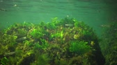 algas : Photosynthesis in the sea, underwater landscape, fish Atherina pontica. Green, red and brown algae on underwater rocks (Enteromorpha, Ulva, Ceramium, Polisiphonia). Gulf of Odessa, Black Sea Archivo de Video
