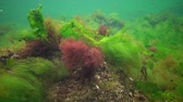 fotossíntese : Photosynthesis in the sea, underwater landscape. Green, red and brown algae on underwater rocks (Enteromorpha, Ulva, Ceramium, Polisiphonia). Gulf of Odessa, Black Sea