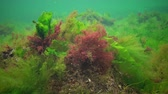 光合成 : Photosynthesis in the sea, underwater landscape. Green, red and brown algae on underwater rocks (Enteromorpha, Ulva, Ceramium, Polisiphonia). Gulf of Odessa, Black Sea