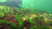 Red, green and brown algae on the Black Sea (Porphyra, Enteromorpha, Ulva). Underwater landscape in the Black Sea.