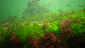 酸素 : Photosynthesis in the sea, underwater landscape, fish Atherina pontica. Green, red and brown algae on underwater rocks (Enteromorpha, Ulva, Ceramium, Polisiphonia). Gulf of Odessa, Black Sea 動画素材