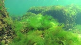alga : Photosynthesis in the sea, underwater landscape, fish Atherina pontica. Green, red and brown algae on underwater rocks (Enteromorpha, Ulva, Ceramium, Polisiphonia). Gulf of Odessa, Black Sea Stock Footage