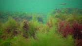 řasa : Photosynthesis in the sea, underwater landscape, fish Atherina pontica. Green, red and brown algae on underwater rocks (Enteromorpha, Ulva, Ceramium, Polisiphonia). Gulf of Odessa, Black Sea Dostupné videozáznamy